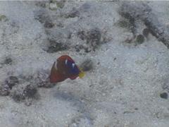 Juvenile Yellow-tail coris swimming, Coris gaimard, UP5577 Stock Footage
