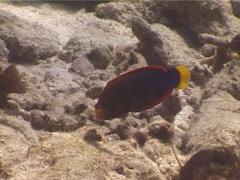 Yellow-tail coris feeding, Coris gaimard, UP5579 Stock Footage