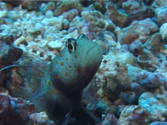 Spotted shrimpgoby, Amblyeleotris guttata, UP5594 Stock Footage