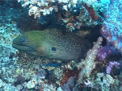 Giant moray gaping, Gymnothorax javanicus, UP5595 Stock Footage