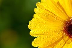 Yellow gerber petals Stock Photos