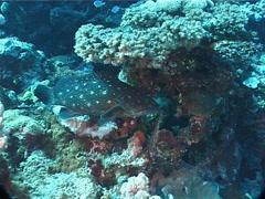 White-spotted grouper swimming, Epinephelus coeruleopunctatus, UP5609 Stock Footage