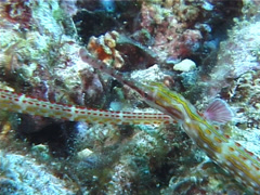 Orange-spotted pipefish, Corythoichthys ocellatus, UP5620 Stock Footage