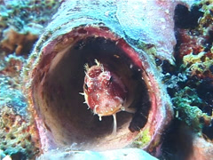 Triplespot blenny, Crossosalarias macrospilus, UP5622 Stock Footage