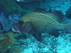 Many spotted sweetlips hovering and schooling, Plectorhinchus chaetodonoides, Stock Footage