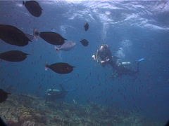 Group of scuba divers swimming on shallow coral reef with Magenta slender Stock Footage