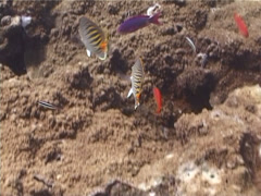 Dot-and-dash butterflyfish feeding, Chaetodon pelewensis, UP5663 Stock Footage