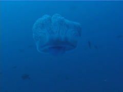 Beautiful blue jellyfish swimming on deep coral reef, Cephea cephea, UP5671 Stock Footage