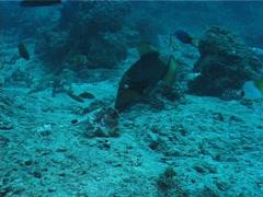 Titan triggerfish feeding, Balistoides viridescens, UP5674 Stock Footage