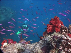 Colourful model scuba diver ascending on coral bommie with Variable soft coral Stock Footage