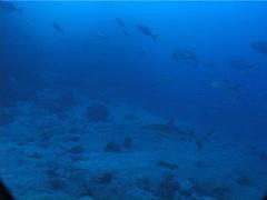Grey reef shark swimming, Carcharhinus amblyrhynchos, UP5694 Stock Footage
