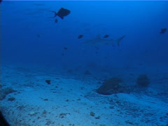 Grey reef shark hunting on deep coral rubble at dusk, Carcharhinus Stock Footage