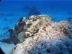 Malabar grouper at dusk, Epinephelus malabaricus, UP5705 Stock Footage