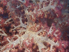 Cnidarians | Soft Corals | Variable Soft Coral | Pull Shot - stock footage