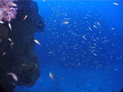 Slender cardinalfish swimming and schooling at dusk, Rhabdamia gracilis, UP5717 Stock Footage