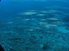 Bigeye barracuda swimming and schooling on deep coral rubble, Sphyraena Stock Footage