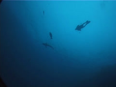 Distant scuba diver swimming in bluewater with Grey reef shark, UP5767 Stock Footage