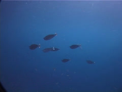 Spotted unicornfish swimming and schooling in bluewater, Naso brevirostris, Stock Footage