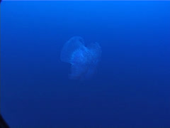 Beautiful blue jellyfish swimming in bluewater, Cephea cephea, UP5780 Stock Footage