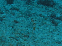 Splendid garden eel feeding, Gorgasia preclara, UP5788 Stock Footage