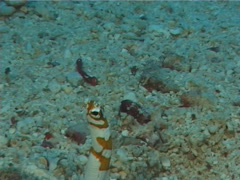 Splendid garden eel hiding, Gorgasia preclara, UP5790 Stock Footage