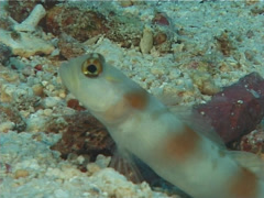 Randall's goby shrimp, Alpheus randalli, UP5795 Stock Footage