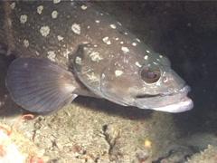 White-spotted grouper hovering, Epinephelus coeruleopunctatus, UP5798 Stock Footage