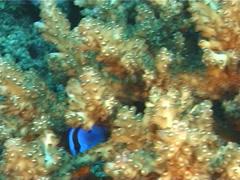 Juvenile Palette surgeonfish swimming, Paracanthurus hepatus, UP5802 Stock Footage