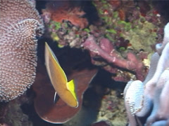 Klein's butterflyfish hovering, Chaetodon kleinii, UP5815 Stock Footage