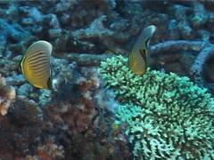 Redfin butterflyfish feeding, Chaetodon lunulatus, UP5816 Stock Footage