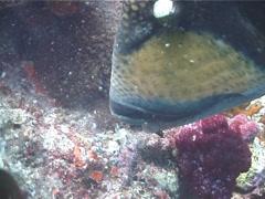 Titan triggerfish hovering, Balistoides viridescens, UP5863 Stock Footage