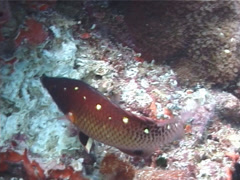 Redfin hogfish hunting, Bodianus dictynna, UP5864 Stock Footage