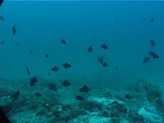 Red tooth triggerfish swimming and schooling on deep coral rubble, Odonus niger, Stock Footage