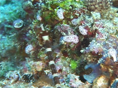 Brownbanded pipefish swimming, Corythoichthys amplexus, UP5967 Stock Footage