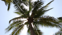 Coconuts palm tree - stock footage