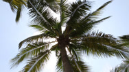 Stock Video Footage of Coconuts palm tree