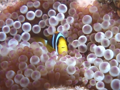 Orangefin anemonefish hovering, Amphiprion chrysopterus, UP5973 Stock Footage