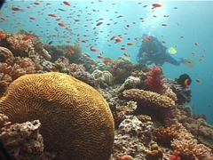 Distant group of scuba divers on shallow coral reef with Scalefin anthias in Stock Footage