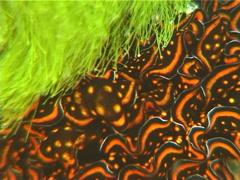 Leaf gilled slug, Cyerce nigricans, UP5978 Stock Footage