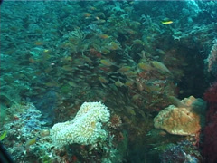 Golden sweepers swimming and schooling, Parapriacanthus ransonneti, UP5979 Stock Footage