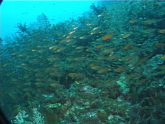Golden sweepers swimming and schooling, Parapriacanthus ransonneti, UP5980 Stock Footage