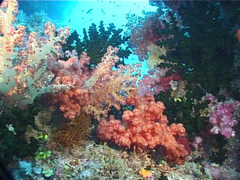 Variable soft coral, Dendronephthya sp. Video 5992. Stock Footage