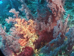 White polyp purple soft coral, Dendronephthya sp. Video 5994. Stock Footage