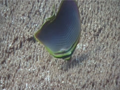 Triangular butterflyfish feeding, Chaetodon baronessa, UP6014 Stock Footage