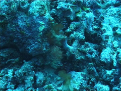 Roughsnout ghost pipefish hovering, Solenostomus paegnius, UP6060 Stock Footage