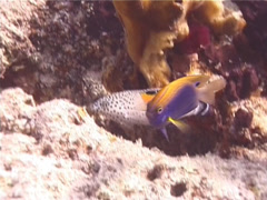 Fish | Wrasses | Clown Coris | Medium Shot Stock Footage