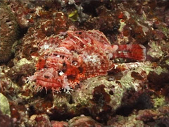 Smallscale scorpionfish at night, Scorpaenopsis oxycephala, UP6122 Stock Footage