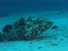 Malabar grouper on deep coral rubble, Epinephelus malabaricus, UP6126 Stock Footage