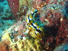 Juvenile Black tentacle sea cucumber feeding, Bohadschia graeffei, UP6128 Stock Footage