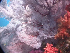 Red sea fan, Melithaea sp. Video 6142. Stock Footage